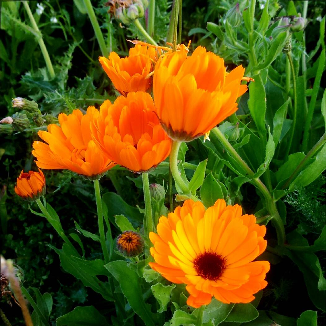 calendula officinalis_c